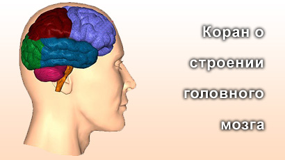 Коран о строении головного мозга