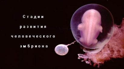Стадии развития человеческого эмбриона