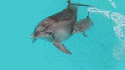 Дельфины ухаживают за потомством